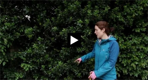 Investigating adaptation using holly leaves - watch our 'how to' video